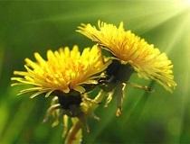 Одуванчик - частый сорняк на огороде