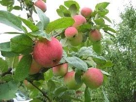 Омолаживающая обрезка яблони.
