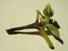 Поражённое растение.