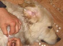 Клещ у собаки