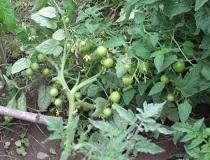 Плохо растут помидоры