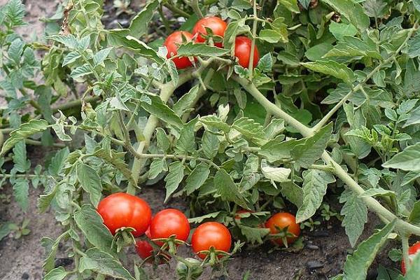 Чем обработать помидоры от фитофторы?