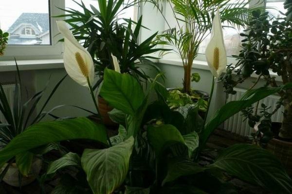 Цветы спатифиллума