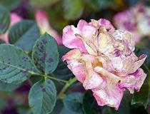 Основные вредители роз и борьба с ними