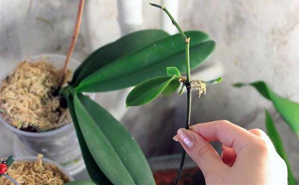 Детки на орхидее