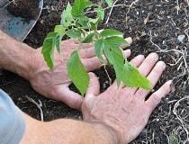 Высаживаем рассаду в открытый грунт
