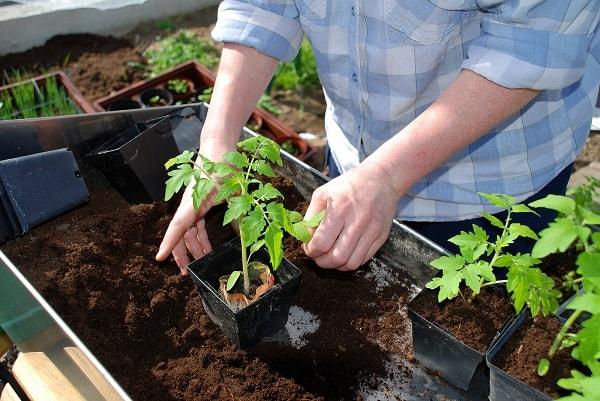 Рассада помидор в индивидуальных горшочках