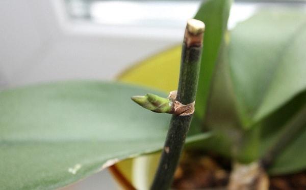 Орхидея после обрезки