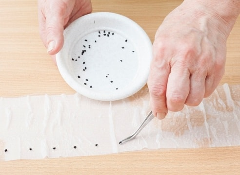 Укладываем семена моркови на туалетную бумагу