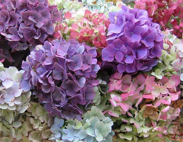 Цветущая садовая гортензия