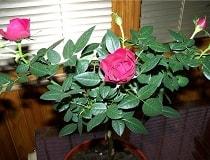 Как ухаживать за комнатной розой в горшке после покупки?