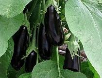 Выращивание баклажанов из рассады в теплице