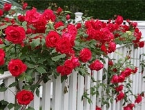Плетистые розы посадка и уход