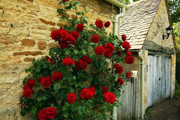 Плетистые розы на стене