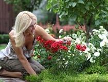 Чем подкормить розы весной для пышного цветения?