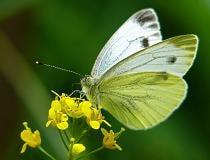 Как бороться с бабочкой капустницей и капустной совкой?