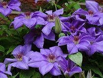 Чем подкормить клематис весной для цветения?