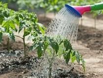 Как поливать помидоры в теплице и в открытом грунте?