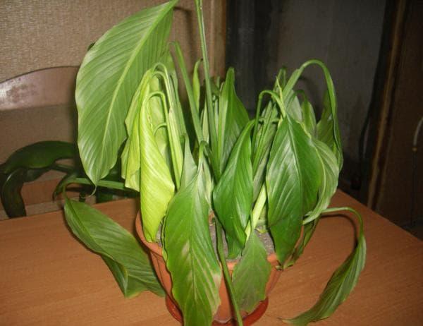 Спатифиллум. Сохнут листья