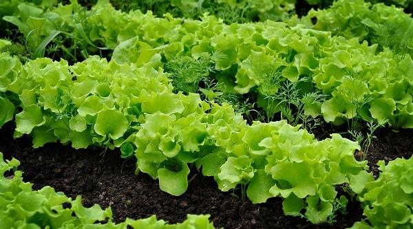 Сажаем салат на огороде в июле