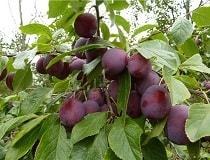 Чем подкормить сливу во время цветения и плодоношения?