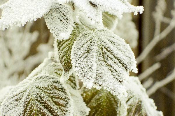 Куст малины зимой