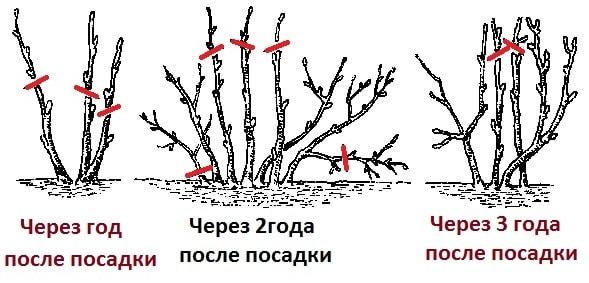 Схема обрезки смородины