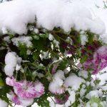 hrizantemy_zimoy