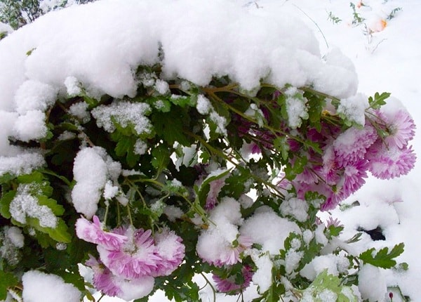 Подготовка хризантем к зиме