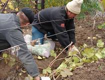 Как укрыть виноград на зиму правильно?