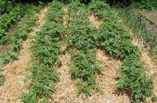 Выращиваем картофель под соломой