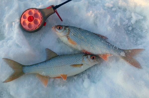 рыбалка прикормка плотвы зимой