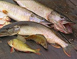 Как приготовить речную рыбу?