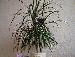 Драцена размножение в домашних условиях черенками, семенами, отводками