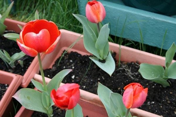 Домашние тюльпаны
