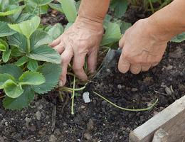 Когда пересаживать клубнику весной, осенью или летом?