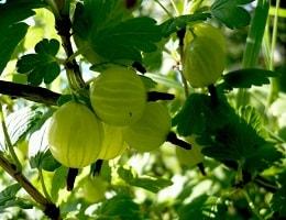 Подкормка крыжовника весной, летом, осенью. Как и чем его можно подкормить?