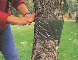 Как сделать ловчие пояса для плодовых деревьев своими руками?