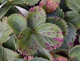 У клубники краснеют листья и засыхают. Что делать?