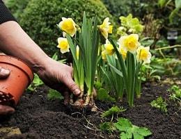 Когда выкапывать луковицы нарциссов после цветения, как это нужно делать?