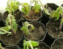 Замерзла рассада помидор в теплице или в открытом грунте. Что делать? Как спасти?