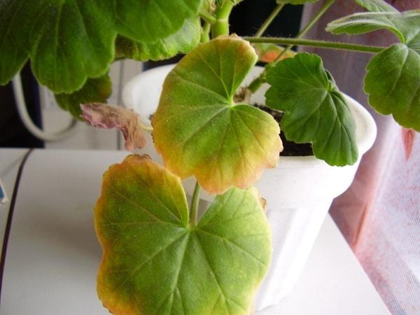 Жёлтые края листьев у герани