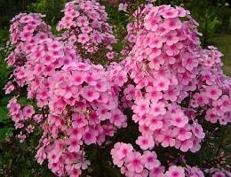 Флоксы посадка и уход в открытом грунте. Когда сажать эти цветы и как это делать?