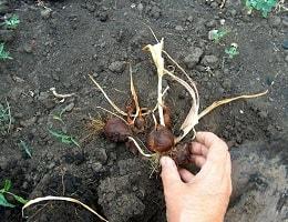 Когда выкапывать луковицы тюльпанов после цветения и как их хранить?