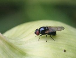 Луковая муха, как с ней бороться?