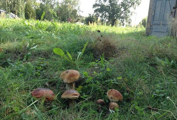Лесные грибы на участке