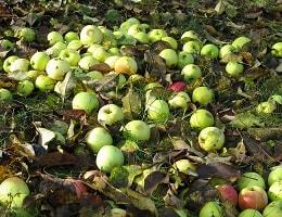 Почему осыпаются яблоки?