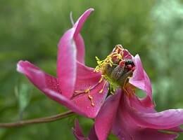 Уход за пионами после цветения, обрезка подкормка. Что делать дальше?
