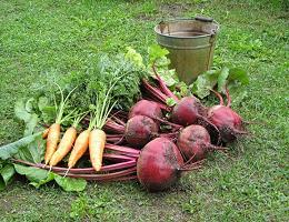 Когда выкапывать свеклу и морковь?
