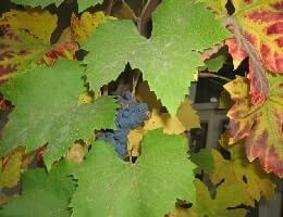 Уход за виноградом осенью